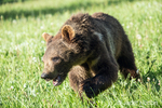 Young Grizzly Bear walking in a meadow, showing a big paw near Bozeman, Montana, USA.  Captive animal.