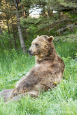 Grizzly Bear lounging in a forest clearing, near Bozeman, Montana, USA.  Captive animal.