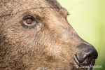 Close-up of a Grizzly Bear's face near Bozeman, Montana, USA.  Captive animal.