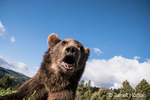 Close-up, looking up at a Grizzly Bear near Bozeman, Montana, USA.  Captive animal.