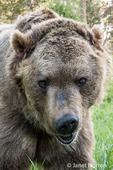 Close-up of a Grizzly Bear near Bozeman, Montana, USA.  Captive animal.