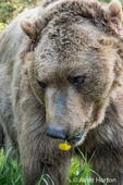 Grizzly Bear eating a dandelion, looking very shy, near Bozeman, Montana, USA.  Captive animal.