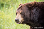 Portrait of a Black Bear in a meadow near Bozeman, Montana, USA.  Captive animal.
