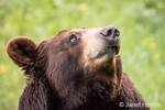 Portrait of a Black Bear in a meadow near Bozeman, Montana, USA.  Captive animal.