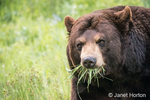 Portrait of a Black Bear eating grass in a meadow, near Bozeman, Montana, USA.  Captive animal.