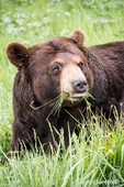 Portrait of a Black Bear eating grass in a meadow, near Bozeman, Montana, USA.  Captive animal.