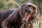 Black panther growling, showing its sharp teeth, near Bozeman, Montana, USA.