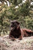 Black panther panting on a hot day near Bozeman, Montana, USA.