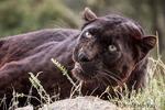 Black panther snarling a warning near Bozeman, Montana, USA.
