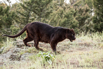 Hungry-looking black panther licking its lips as it hunts for food near Bozeman, Montana, USA.  A black panther in the Americas is the melanistic color variant of black jaguars (Panthera onca).  Captive animal.