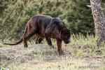 Black panther searching for food near Bozeman, Montana, USA.