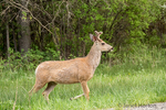 Male Mule Deer with early antlers beside a rural road near Bozeman, Montana, USA.