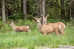Two male and one female Mule Deer beside a rural road near Bozeman, Montana, USA.