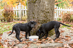 """Baxtor"" and ""Shadow"", three month old black Labrador Retriever puppies, getting a drink and checking out the scent by their water bowl, in Bellevue, Washington, USA"