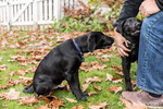 "Man petting ""Baxtor"" while his three month old black Labrador Retriever puppy, ""Shadow"", looks sad and jealous at them in Bellevue, Washington, USA"