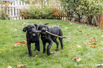 """Baxtor"" and ""Shadow"", three month old black Labrador Retriever puppies, struggling to fetch a thrown stick, in Bellevue, Washington, USA"