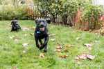 """Shadow"", a three month old black Labrador Retriever puppy, eagerly running while his littermate, ""Baxtor"", rests in the lawn, in Bellevue, Washington, USA"