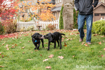 """Shadow"" and ""Baxtor"", three month old black Labrador Retriever puppies, playing tug on the lawn beside their owner in Bellevue, Washington, USA"