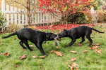 """""""Shadow"""" and """"Baxtor"""", three month old black Labrador Retriever puppies, playing tug on the lawn in Bellevue, Washington, USA"""