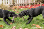 """Shadow"" and ""Baxtor"", three month old black Labrador Retriever puppies, playing tug on the lawn in Bellevue, Washington, USA"