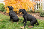 """Shadow"" and ""Baxtor"", three month old black Labrador Retriever puppies, being trained to sit and stay, in Bellevue, Washington, USA"