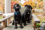 """Shadow"" and ""Baxtor"", three month old black Labrador Retriever puppies, posing on a patio chair, in Bellevue, Washington, USA"