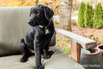 """Baxtor"", a three month old black Labrador Retriever puppy, posing on a patio chair, in Bellevue, Washington, USA"