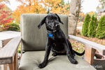 """Shadow"", a three month old black Labrador Retriever puppy, posing on a patio chair, in Bellevue, Washington, USA"