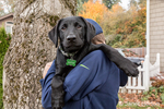 "Boy holding ""Baxtor"", his three month old black Labrador Retriever puppy, in Bellevue, Washington, USA"