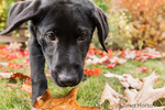 Portrait of a three month old black Labrador Retriever puppy on an Autumn day in Bellevue, Washington, USA