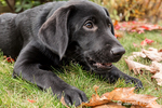 "Portrait of a three month old black Labrador Retriever puppy on an Autumn day practicing a ""down"" and ""stay"" command in Bellevue, Washington, USA"