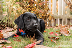 "Portrait of a three month old black Labrador Retriever puppy, ""Shadow"", reclining on the lawn on an Autumn day in Bellevue, Washington, USA"