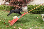 """Shadow"", a three month old black Labrador Retriever puppy, chasing after a boy pulling a rake (with a stuffed toy attached) behind him, in Bellevue, Washington, USA"