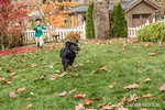 "Four year old boy chasing after ""Shadow"", his three month old black Labrador Retriever puppy, in Bellevue, Washington, USA"