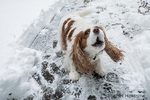 """Mandy"", a Cavalier King Charles Spaniel, barking outside on a partially snow-cleared sidewalk, in Issaquah, Washington, USA"