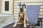"""Great Dane puppy """"Evie"""" sitting on a patio lounge in Issaquah, Washington, USA"""