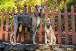 """Great Dane puppie """"Evie"""" and her companion adult """"Sophie"""" playing on a terraced hillside of their yard in Issaquah, Washington, USA"""