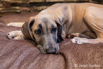 "Great Dane puppy ""Evie"" resting on her bed in Issaquah, Washington, USA"