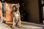 "Great Dane puppy ""Evie"" sitting on her front porch in Issaquah, Washington, USA"