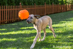 "Great Dane puppy ""Evie"" playing with her favorite toy, a plastic trick-or-treat pumpkin, in Issaquah, Washington, USA"