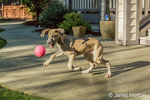 """Great Dane puppy """"Evie"""" playing with her ball in Issaquah, Washington, USA"""