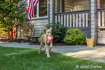 "Great Dane puppie ""Evie"" fetching a ball in her yard in Issaquah, Washington, USA"