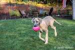"""Great Dane puppie """"Evie"""" fetching a ball in her yard in Issaquah, Washington, USA"""