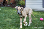 "Great Dane puppy ""Evie"" playing with toys in her yard in Issaquah, Washington, USA"