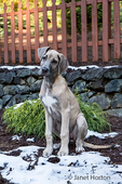 "Great Dane puppy ""Evie"" sitting on a partially snow-covered, terraced area of her yard in Issaquah, Washington, USA"