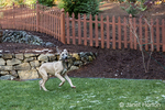 """Great Dane puppy """"Evie"""" fetching a stick in her yard in Issaquah, Washington, USA"""