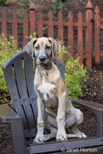 "Great Dane puppy ""Evie"" sitting on a wooden patio chair in Issaquah, Washington, USA"
