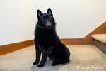 """Schipperke puppy """"Cash"""" sitting on a stairwell landing in Maple Valley, Washington, USA"""