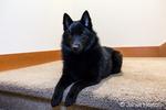 "Schipperke puppy ""Cash"" reclining on a stairwell landing in Maple Valley, Washington, USA"