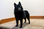 """Schipperke puppy """"Cash"""" standing on a stairwell landing in Maple Valley, Washington, USA"""